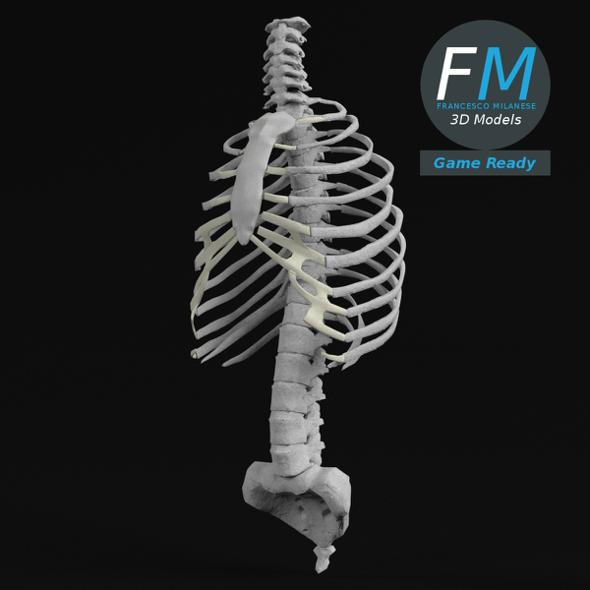 Anatomy - Human Spine Torso and Rib Cage GR - 3DOcean Item for Sale