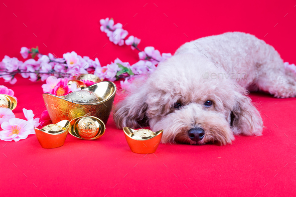Dog in Chinese New Year festive setting in red background - Stock Photo - Images