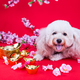 Dog in Chinese New Year festive setting in red background - PhotoDune Item for Sale
