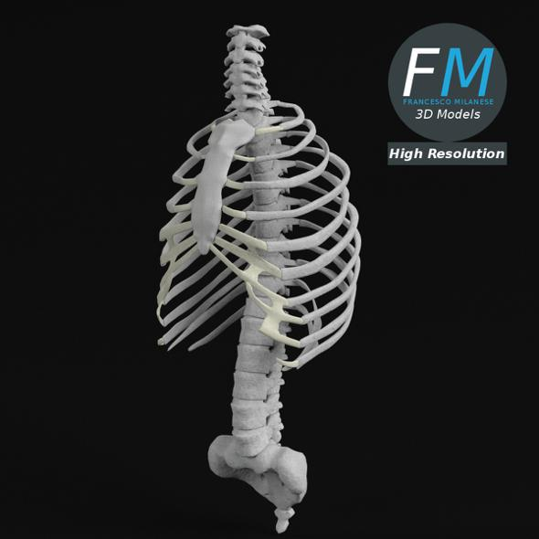 Anatomy - Human Spine Torso and Rib Cage HR - 3DOcean Item for Sale