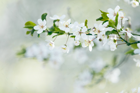 Spring tree blossom  - Stock Photo - Images