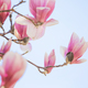 Magnolia flowers - PhotoDune Item for Sale