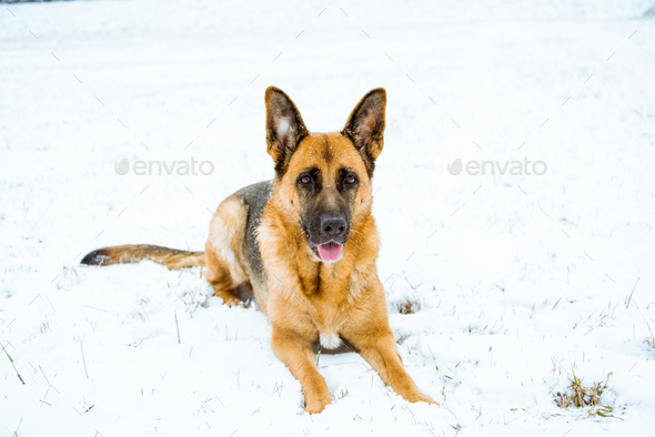 German shepherd dog lying in snow - Stock Photo - Images