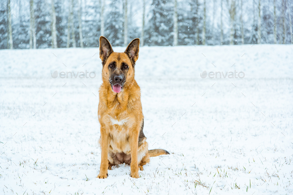 German shepherd dog possing outdoor at winter - Stock Photo - Images