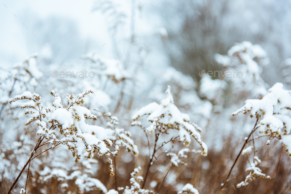 Winter background snowy bush with bokeh - Stock Photo - Images