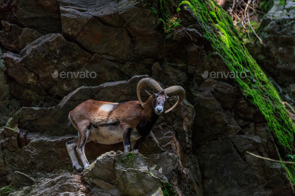 the mouflon (Ovis musimon). Parc de Merlet, France - Stock Photo - Images