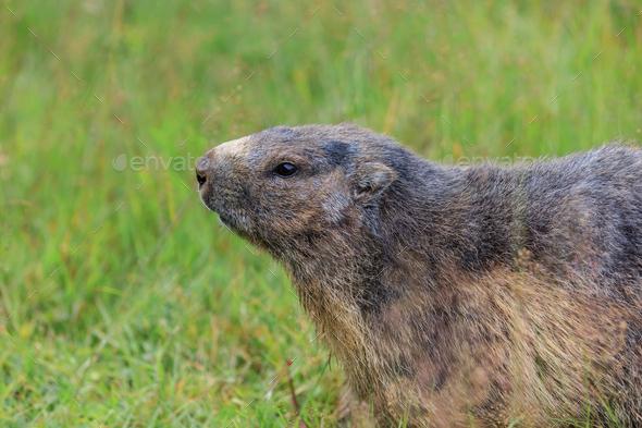 Alpine marmot (Marmota marmota) in the French Alps - Stock Photo - Images