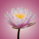 Abstract of pink waterlily - PhotoDune Item for Sale
