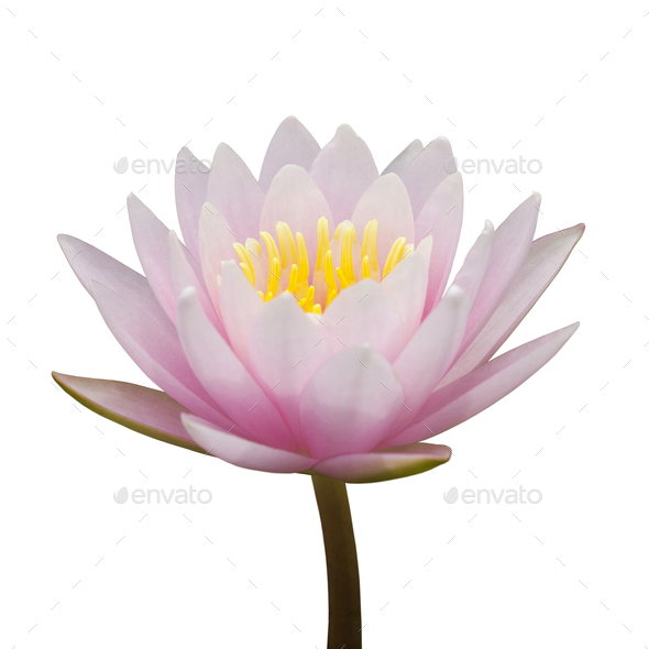 Pink waterlily - Stock Photo - Images