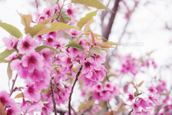 Beautiful colors of Sakura - Stock Photo - Images