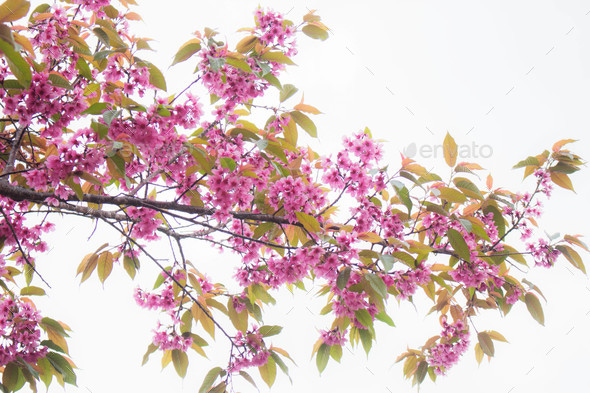 Beautiful of pink sakura - Stock Photo - Images