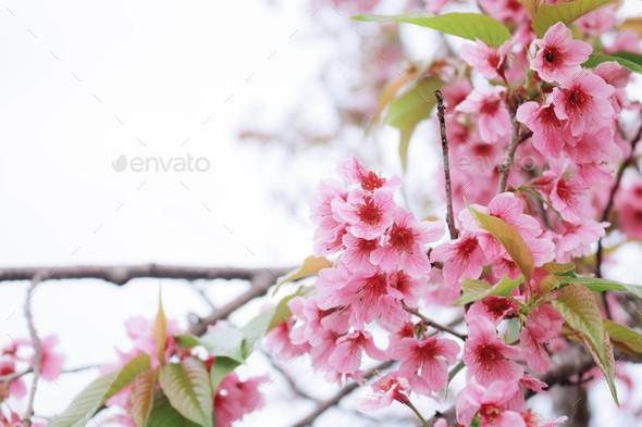 Beautiful of Sakura - Stock Photo - Images