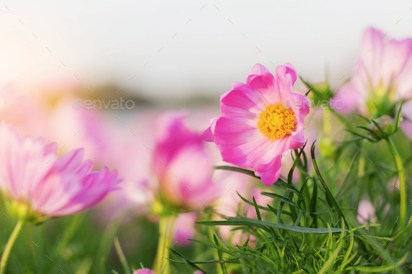 Beauty of cosmos at sunrise - Stock Photo - Images