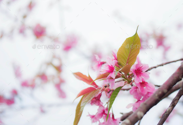 Colorful of sakura - Stock Photo - Images