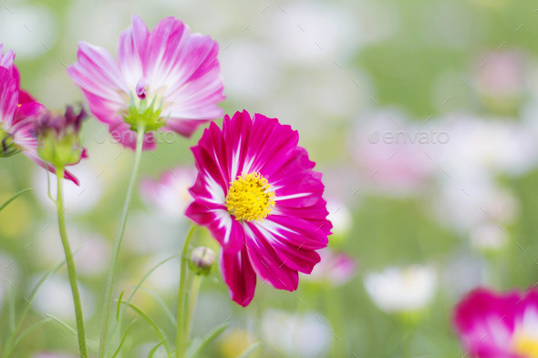 colors of cosmos flowers - Stock Photo - Images