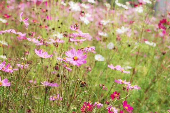 Cosmos garden is drying - Stock Photo - Images