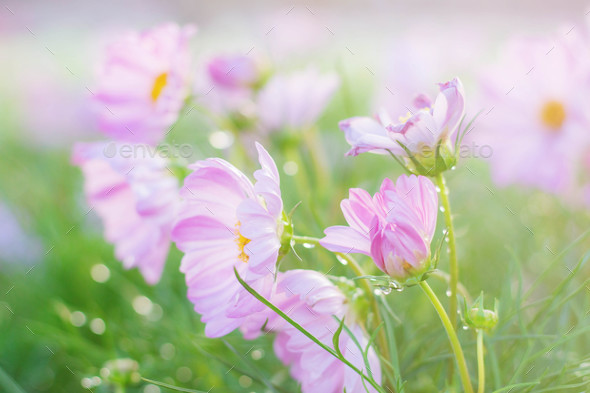Cosmos with refreshing at sunshine - Stock Photo - Images