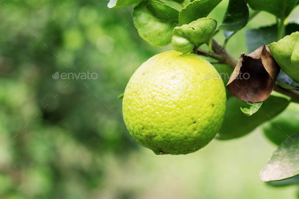 Green lemons on tree - Stock Photo - Images