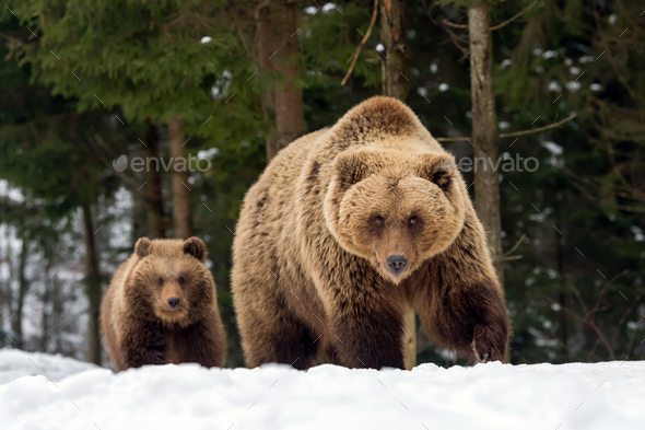 Family bear in the winter forest - Stock Photo - Images
