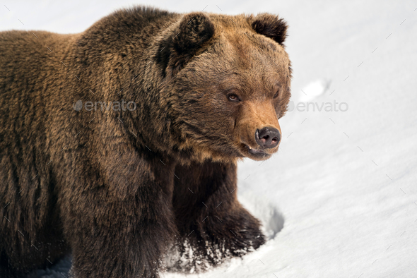 Wild brown bear in winter forest - Stock Photo - Images