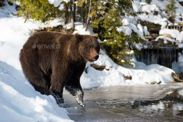 Wild brown bear near a forest lake - Stock Photo - Images