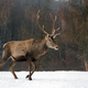 Red deer in winter forest - PhotoDune Item for Sale
