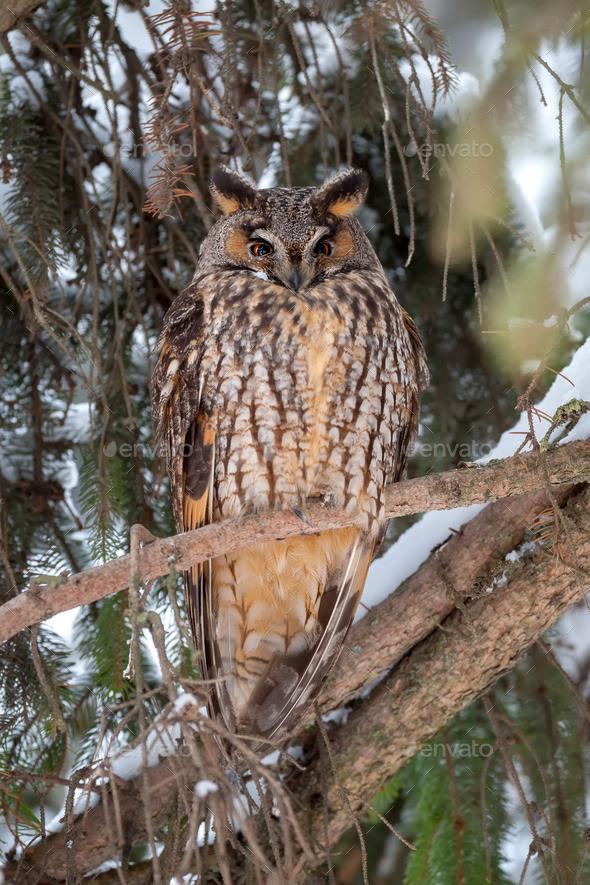 Eurasian eagle owl on branch - Stock Photo - Images