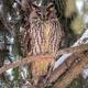 Eurasian eagle owl on branch - PhotoDune Item for Sale