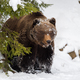 Wild brown bear in winter forest - PhotoDune Item for Sale
