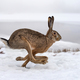 Hare running in the field - PhotoDune Item for Sale