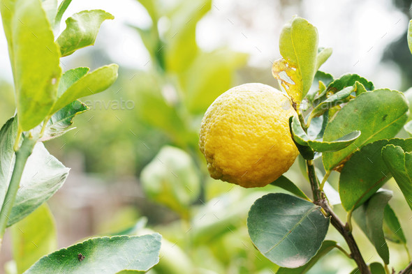 lemons on the planted - Stock Photo - Images
