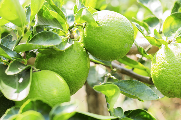 lemons with sunlight - Stock Photo - Images
