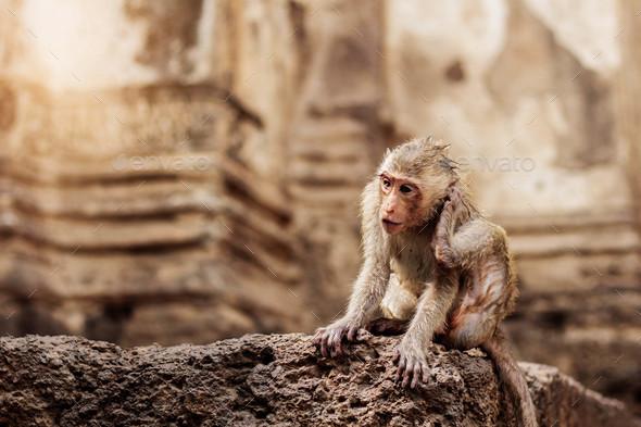 Monkey on stone - Stock Photo - Images