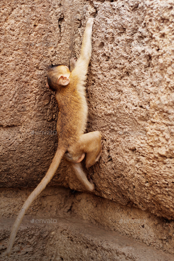 monkeys are playing on stone - Stock Photo - Images