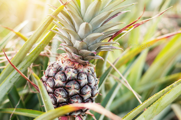 Pineapple in farm with sunshine - Stock Photo - Images