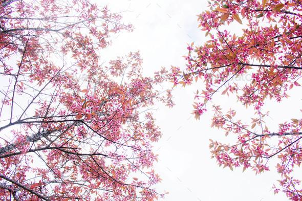 Pink sakura at sky - Stock Photo - Images