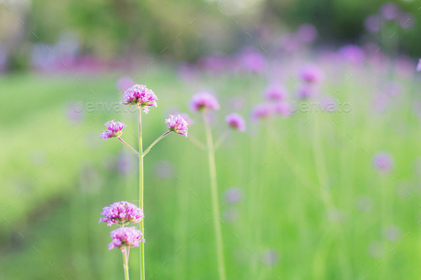 Purple flowers with beauty - Stock Photo - Images
