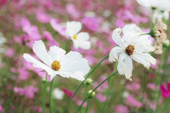 White cosmos with sunlight - Stock Photo - Images