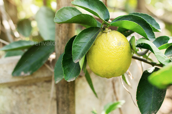 Yellow lemons on planted - Stock Photo - Images