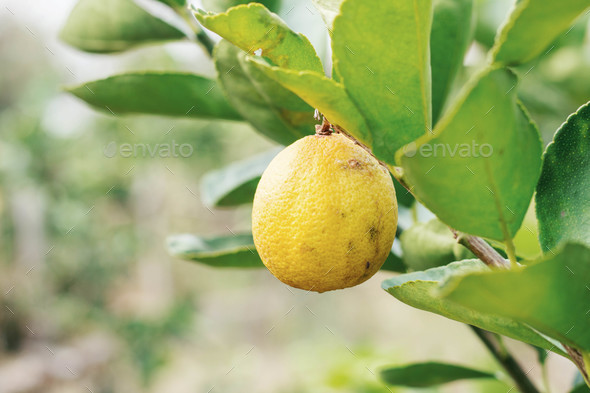 Yellow lemons on tree - Stock Photo - Images