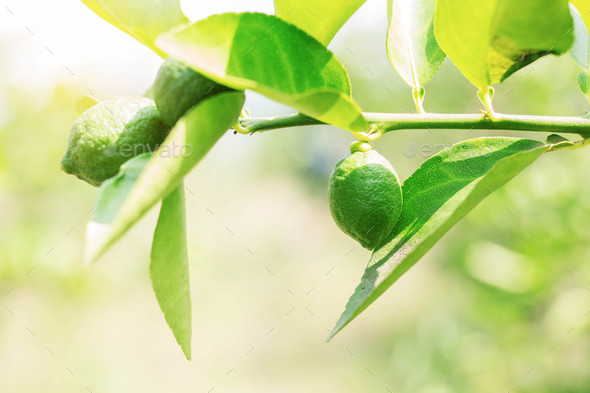 Young lemons are growing on trees - Stock Photo - Images