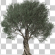 Olive Tree - VideoHive Item for Sale