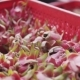 Box of Fresh and Exotic Dragon Fruit Harvested at the Farm of Pitahaya - VideoHive Item for Sale