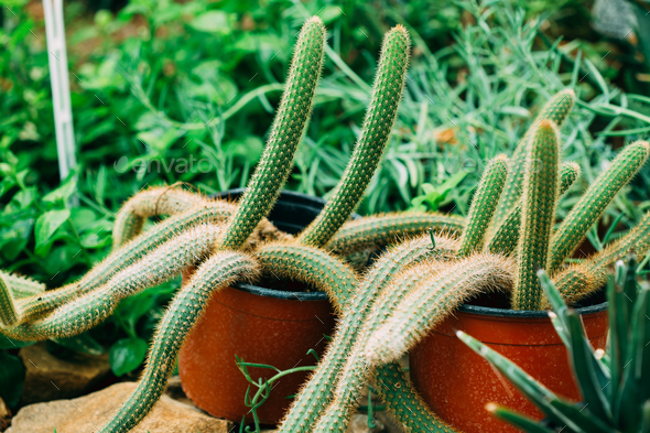 Close View Of Cleistocactus In Botanical Garden - Stock Photo - Images