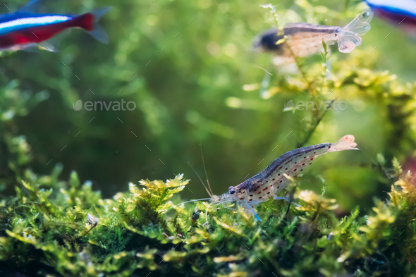Amano Shrimp Or Japanese Shrimp Swimming In Water - Stock Photo - Images