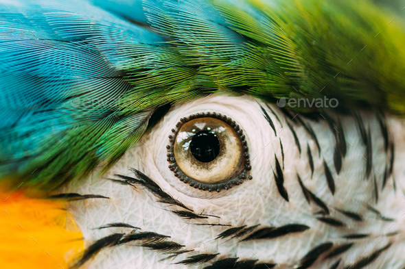Eye Of Blue-and-yellow Macaw Also Known As The Blue-and-gold Mac - Stock Photo - Images