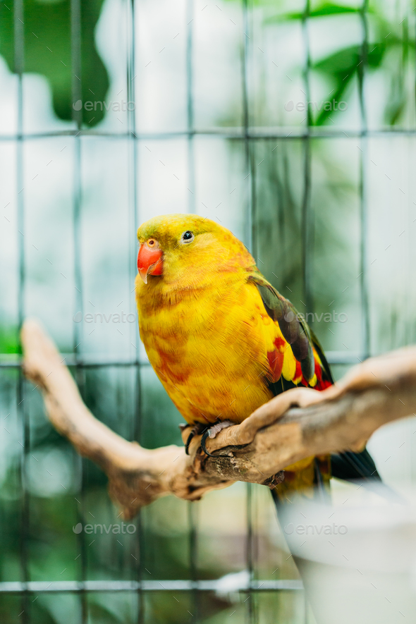 Yellow Regent Parrot Or Rock Pebbler In Zoo. Birds Can Be Traine - Stock Photo - Images