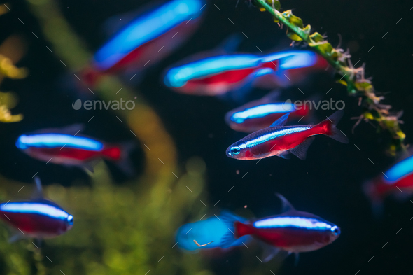 Cardinal Tetra Fish Swimming In Water - Stock Photo - Images