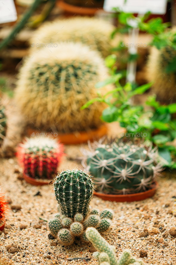 Close View Of Ferocactus Wislizeni In Botanical Garden - Stock Photo - Images