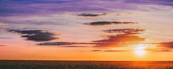 Panorama Of Eared Wheat Field,  Summer Cloudy Sky In Sunset Dawn - Stock Photo - Images